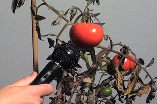 entrevue avec une célébrité,vidéo de manon labrecque,son,quête,tomate,écoute,absolu,témoignages