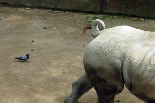 se faire tout un scénario,vidéo de manon labrecque,pigeons,rhinocéros,répétition
